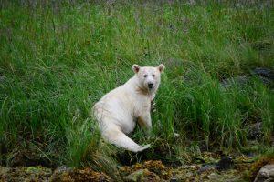 White bear eating grass