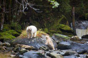 Spirit bear Mother and Cub