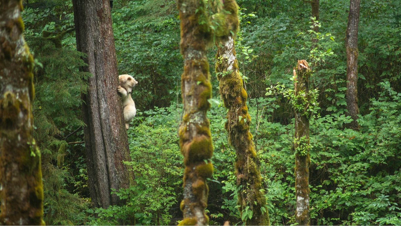 Spirit Bear Clings to a tree it has climbed in the Great Bear Rainforest